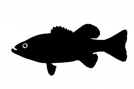 pic of fighter-fish  - The silhouette of fish predators Bass freshwater fish that lives in clear lakes and rivers - JPG