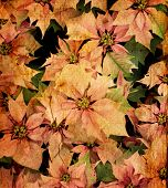 image of christmas flower  - old - JPG
