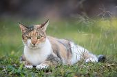 A Grumpy Looking Tri Colored House Cat Lying In Grass poster