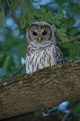 image of screech-owl  - Beautiful Eastern Screech Owl on a tree limb - JPG