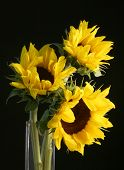 stock photo of vase flowers  - **Note slight blurriness, best at small sizes.Three sunflowers softly lit in a glass vase. Black background. Great for greeting cards posters bulletin covers etc. - JPG
