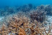 Coral Reef In Carbiiean Sea Off Coast Of Bonaire Staghorn Coral,acropora Cervicornis poster