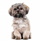 Mixed-breed dog , 10 months old, sitting against white background poster