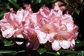 Pink Flowers Of Rhododendron Yakushimanum.the Rhododendron Yakushimanum S A Winter Hardy, Compact Rh poster