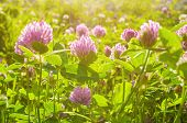 Flowers Of Clover Lt By Soft Sunlight - Summer Sunset Landscape. Selective Focus At The Clover Summe poster