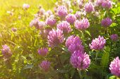 Pink Summer Flowers Of Clover Lt By Warm Summer Sunlight - Summer Sunset Landscape. Summer Meadow Wi poster