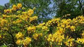 Rhododendron Yellow Spring In The Park Against The Background Of Tall Green Trees And Blue Sky. Rhod poster