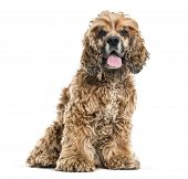 Brown Mixed-breed dog sitting and panting against white background poster
