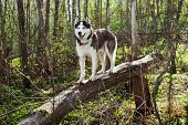 Dog On A Fallen Tree In A Spring Forest. Siberian Husky Black And White Colour Outdoors. A Pedigreed poster