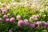 Summer Meadow With Pink Blooming Summer Flowers Of Clover - Sunny Summer Landscape. Pink Clovers Blo poster