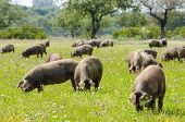 Pigs Graze On Farm In Countryside Of Badajoz, Extremadura. Copy Space For Text poster
