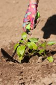 Seasonal Planting Of Plant Vegetables. Female Farmer Loosen Ground Around Vegetable Plant Peppers Wi poster
