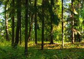 Forest Summer Landscape. Row Of Pine Forest Trees In The Dense Summer Forest Under Soft Sunlight. Su poster