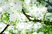 Blooming White Branches In The Spring Garden, Apricot, Apple, Pear Blooming, Sunlght In The Blooming poster