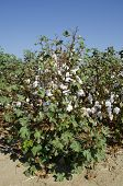 pic of pima  - Cotton in the field - JPG