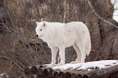 Wild Arctic Wolf Is Standing On Wooden Logs. Animals In Wildlife. Polar Wolf Or White Wolf. Canis Lu poster