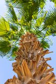 Perspective View Of A Tall Palm Tree Against A Blue Sky. Palm Tree, View From Below, Vertical Shot.  poster