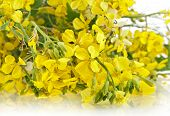 stock photo of cruciferous  - Flower of a mustard - JPG