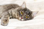 Sad Sick Young Gray Cat Lies On A White Fluffy Blanket In A Veterinary Clinic For Pets. Depressed Il poster