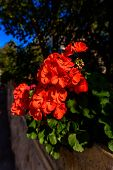 Red Tulip Bloom In Nature Hdr Shot poster