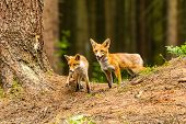 Red Fox, Vulpes Vulpes, Adult Fox With Young poster
