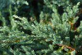 Flaky Juniper Blue Carpet - Latin Name - Juniperus Squamata Blue Carpet poster