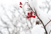 Useful For Your Health. Rowanberry Twig In Snow. Winter Berry. Berries Of Red Ash. Winter Background poster
