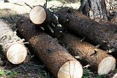 Row Of Chopped Wooden Logs Prepared For Winter,firewood For Fireplace. Forest Clearance. Wood Cut Lo poster
