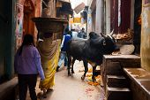 Black Bull Cow Blocking Narrow Alley Varanasi