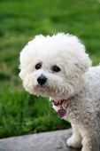 A Bichon Frise dog looks for a cat while outdoors