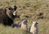 picture of pygmy goat  - Cute goat family in a meadow - JPG