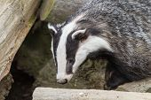 picture of badger  - Badger  - JPG