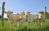 stock photo of charolais  - young Charolais cows before the barbed wire of their pre - JPG