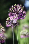 Purple alium onion flower on green background. Summer blooming