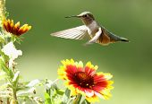 stock photo of colibri  - Broad-tailed hummingbird female (Selasphorus platycercus) feeding on flower