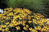 stock photo of black-eyed susans  - black eye susan against a green hay background - JPG