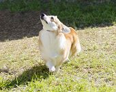 stock photo of corgi  - A young healthy beautiful red sable and white Welsh Corgi Pembroke dog with a docked tail walking on the grass happily The Welsh Corgi has short legs long body big erect ears and is a herding breed - JPG