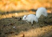 pic of albinos  - Rare white squirrel stashing nuts at a park in Olney Illinois one of the few places were a large number of them exist - JPG