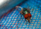foto of blowfly  - Fly on blue net show animal concept - JPG
