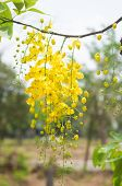 stock photo of cassia  - Cassia fistula or shower flowers show nation flower of Thailand - JPG