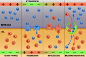 pic of cytology  - Nerve impulse action potential in neuron scheme vector illustration - JPG