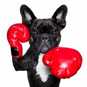 stock photo of kickboxing  - french bulldog boxing dog with big red gloves - JPG