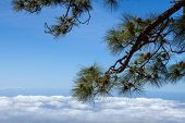 stock photo of pinus  - Image of pine bunch  - JPG