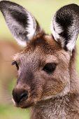 foto of kangaroo  - The western grey kangaroo  - JPG