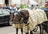 stock photo of blinders  - Pair of nice horses in plaid blankets and caps carry the carriage through the Vienna streets