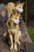 picture of apex  - The dingo or Canis Lupus is a free-ranging dog found mainly in Australia, as well as Southeast Asia.