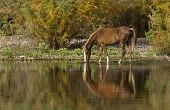foto of wild horses  - Wild horse drinking water in the early morning along the Salt River in Mesa - JPG