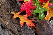 image of driftwood  - Wet bright autumn leaves on aged driftwood - JPG