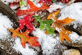 stock photo of driftwood  - Bright autumn leaves covered with snow on aged driftwood and rocks - JPG