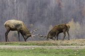picture of bambi  - A pair of elk in a fight for dominance - JPG